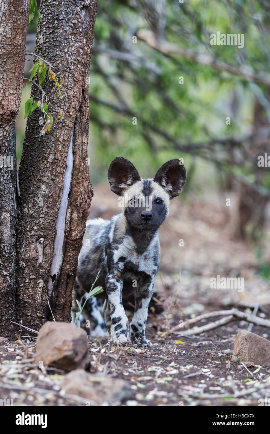 African wild dog pup (Lycaon pictus), Zimanga private game reserve, KwaZulu-Natal, South Africa - Stock Image