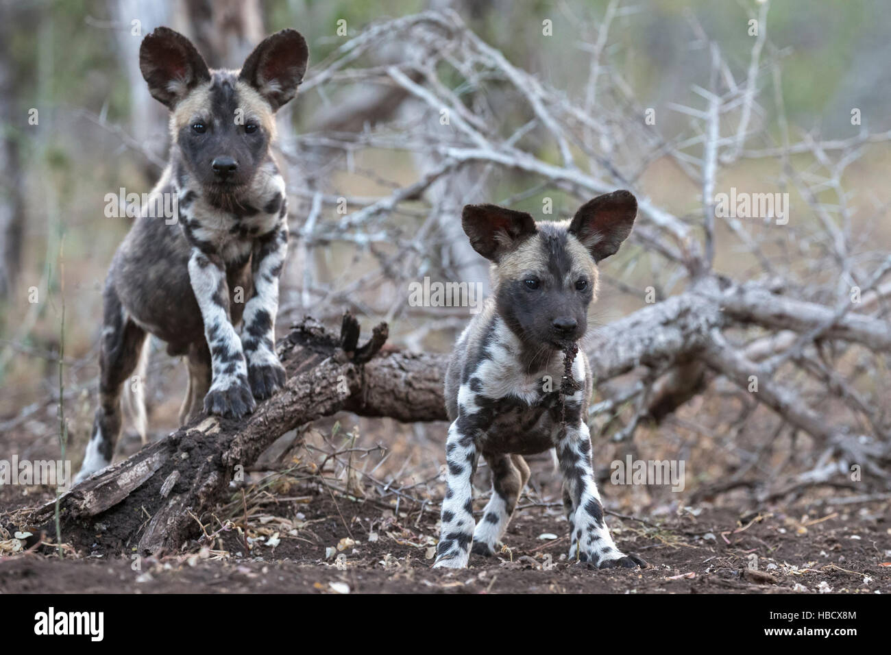 African wild dog pups (Lycaon pictus), Zimanga private game reserve, KwaZulu-Natal, South Africa - Stock Image