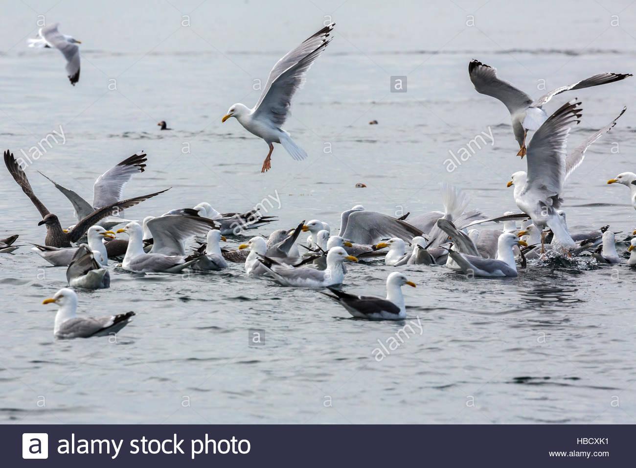 Herring gulls (Larus argentatus) at fish shoal, North Sea, Northumberland, UK, - Stock Image