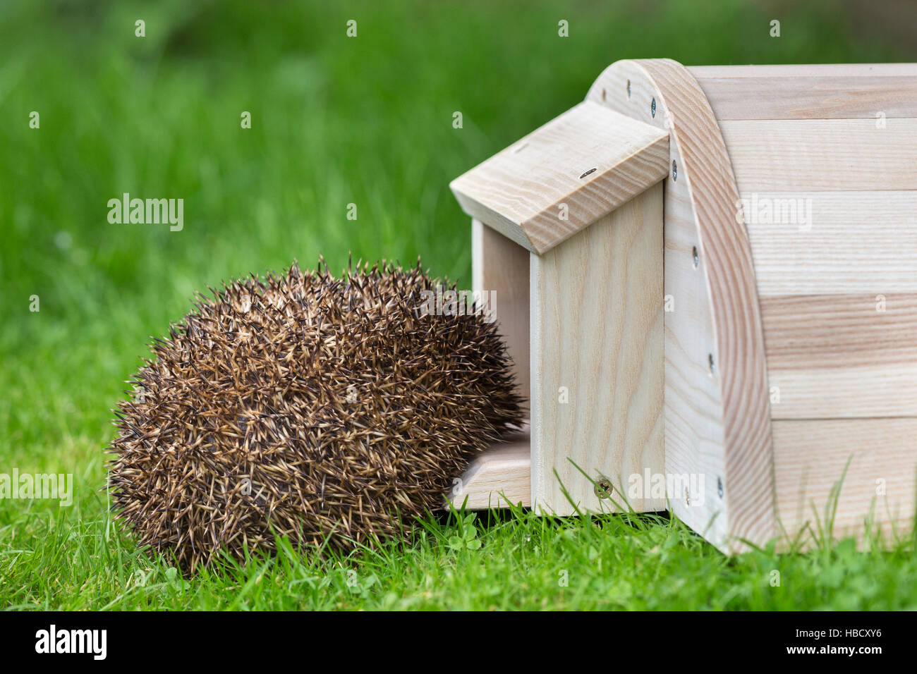 Hedgehog (Erinaceus europaeus) entering hedgehog house, captive, UK - Stock Image