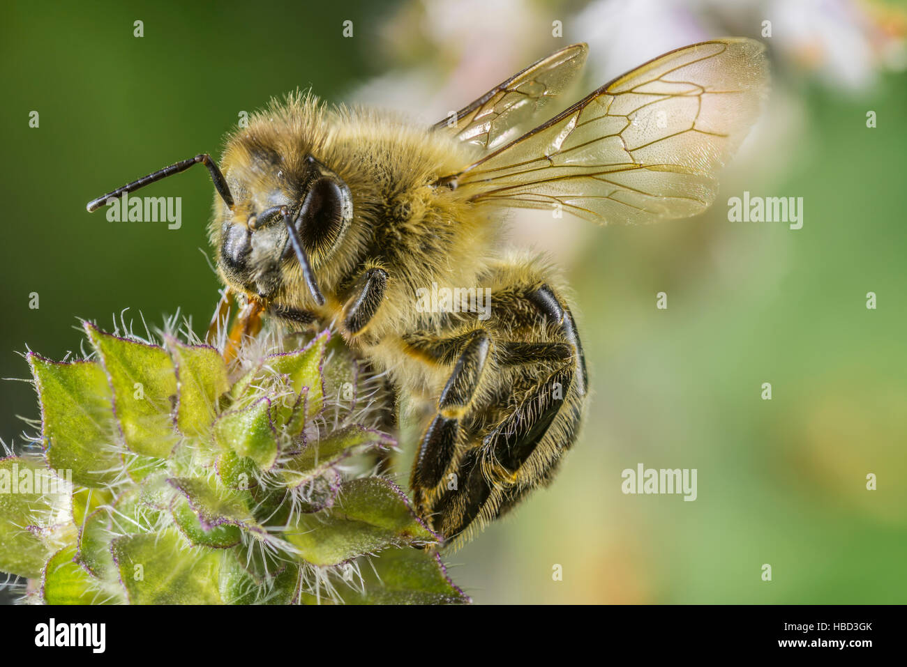 Closeup of a Bee sitting on a flower Stock Photo