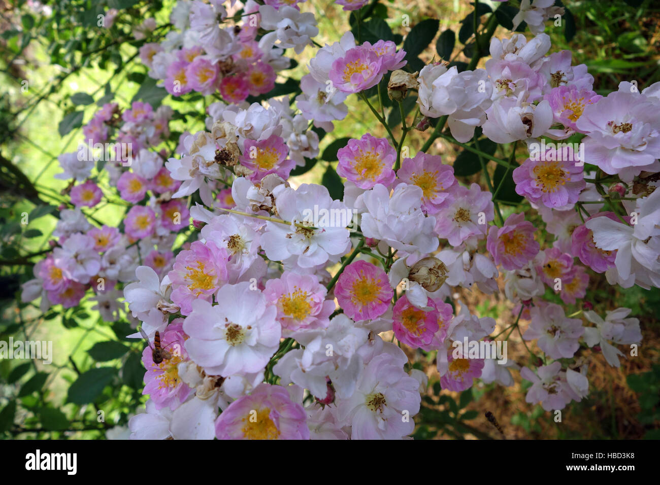 shrub rose with little pink blossoms - Stock Image