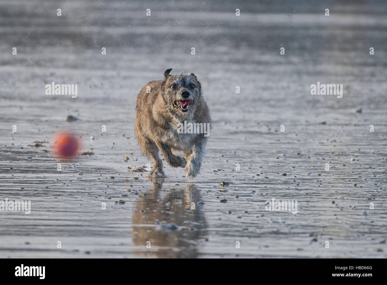 A small dog chasing a ball on dog friendly Fistral Beach in Newquay, Cornwall. - Stock Image