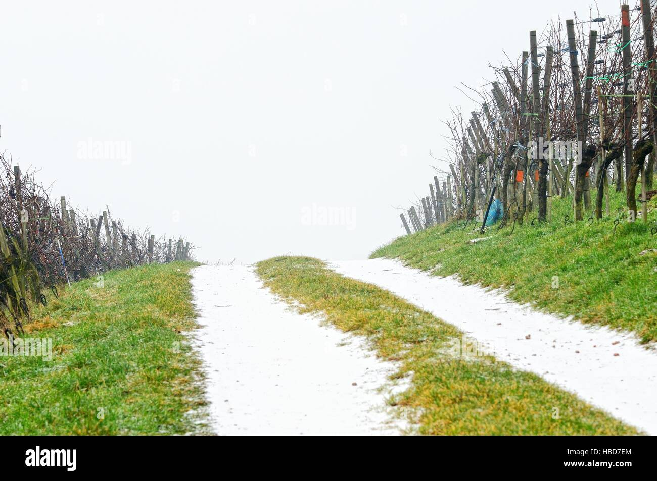 through the vineyard in winter - Stock Image