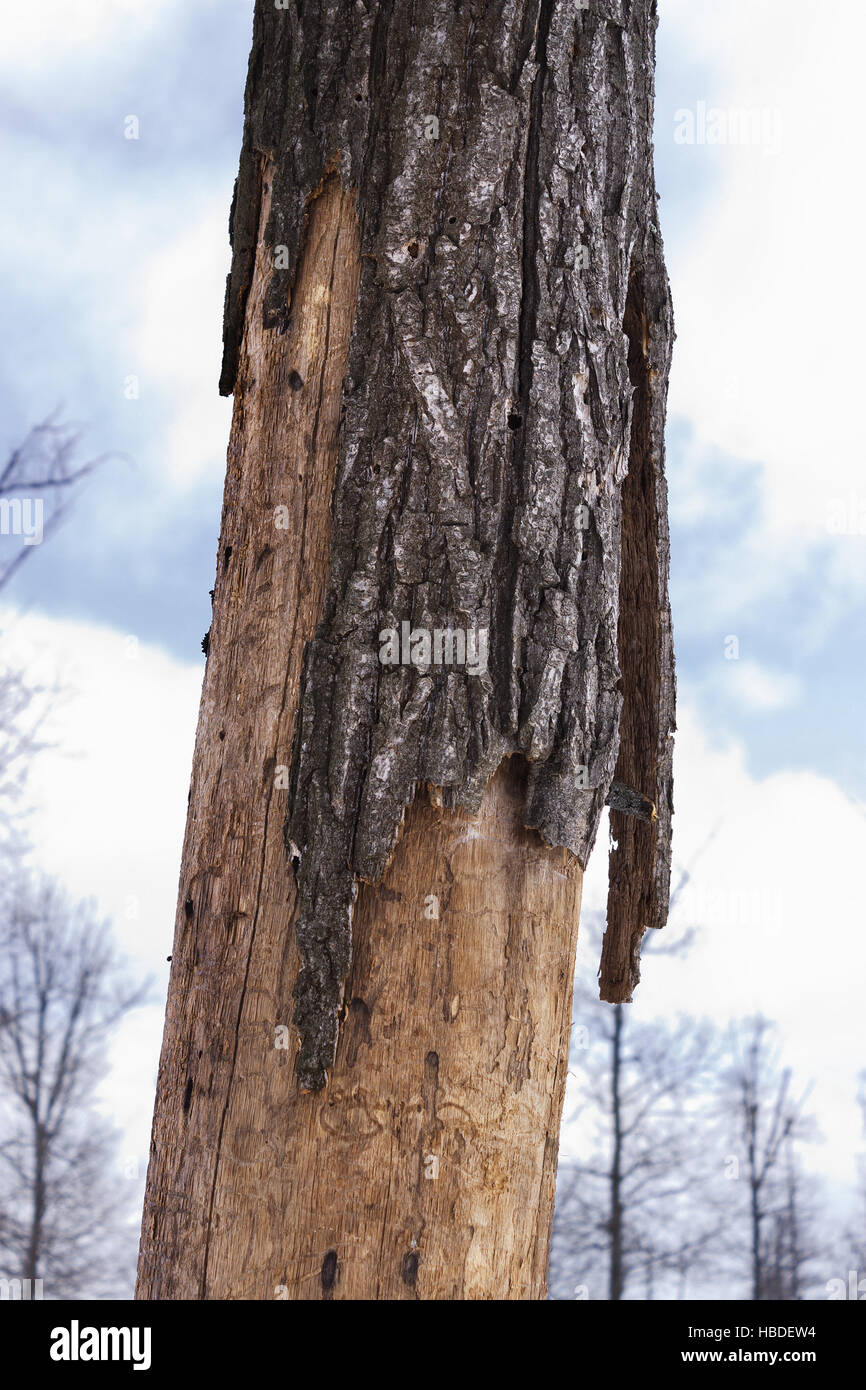 Beetle-killed tree pest - Stock Image