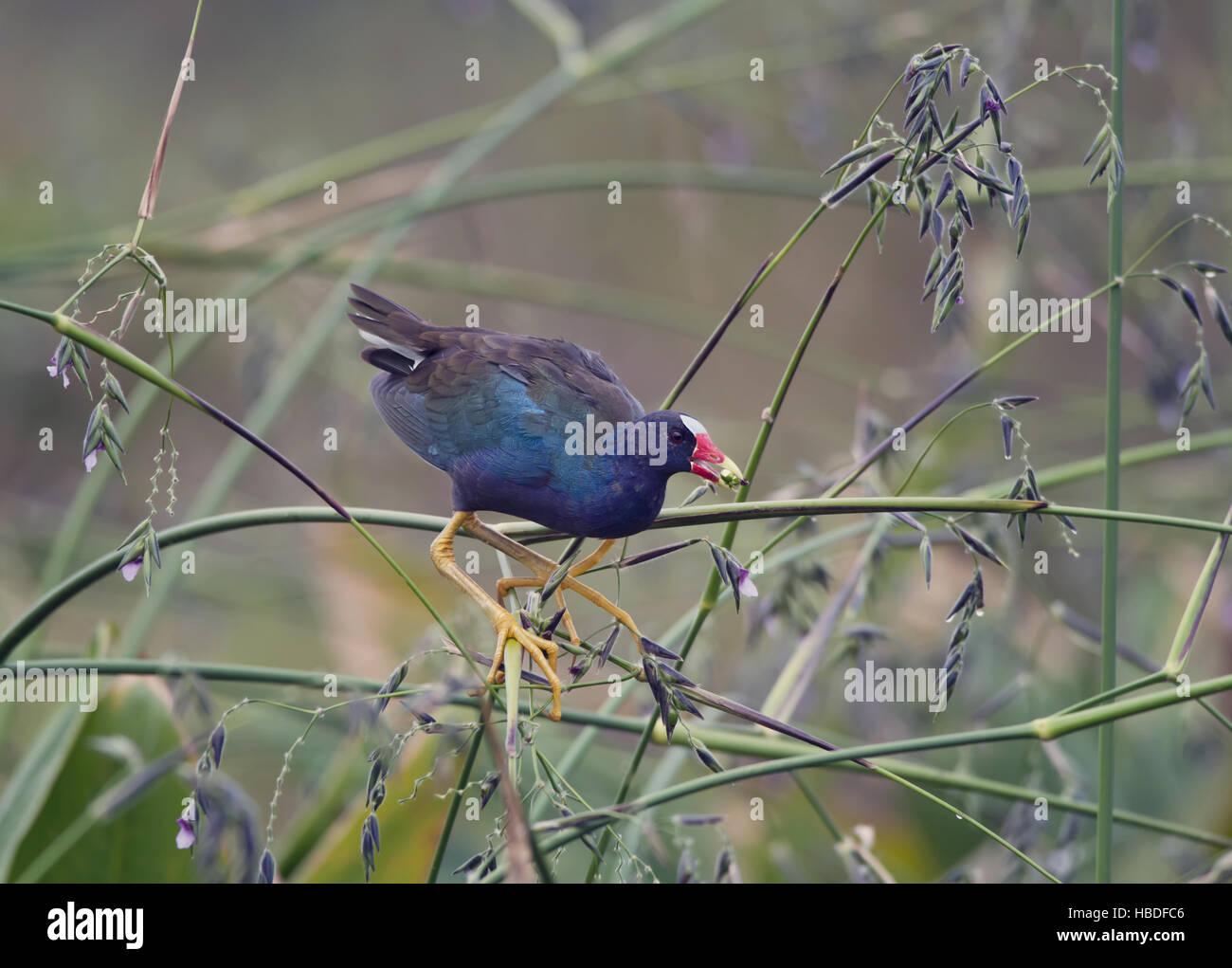 purple gallinule perches - Stock Image