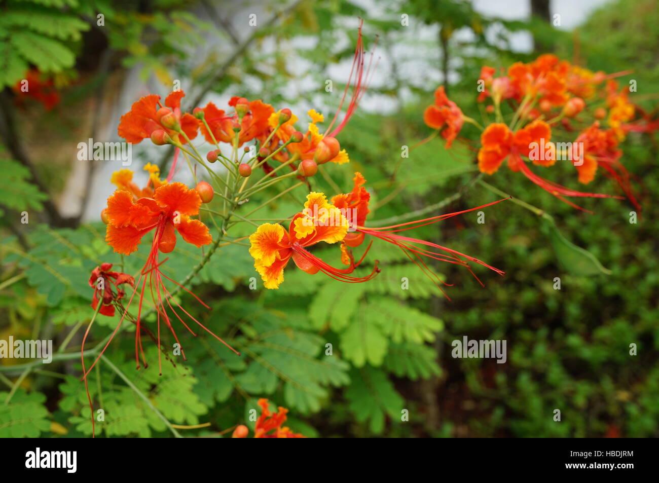Orange And Yellow Caesalpinia Pulcherrima Flowers A Tropical Plant