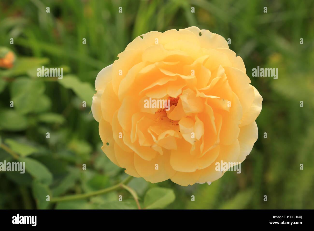 Rose graham thomas stock photo 127534810 alamy rose graham thomas thecheapjerseys Images