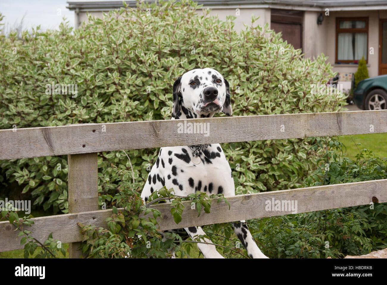 dalmatian dog alert at garden fence - Stock Image