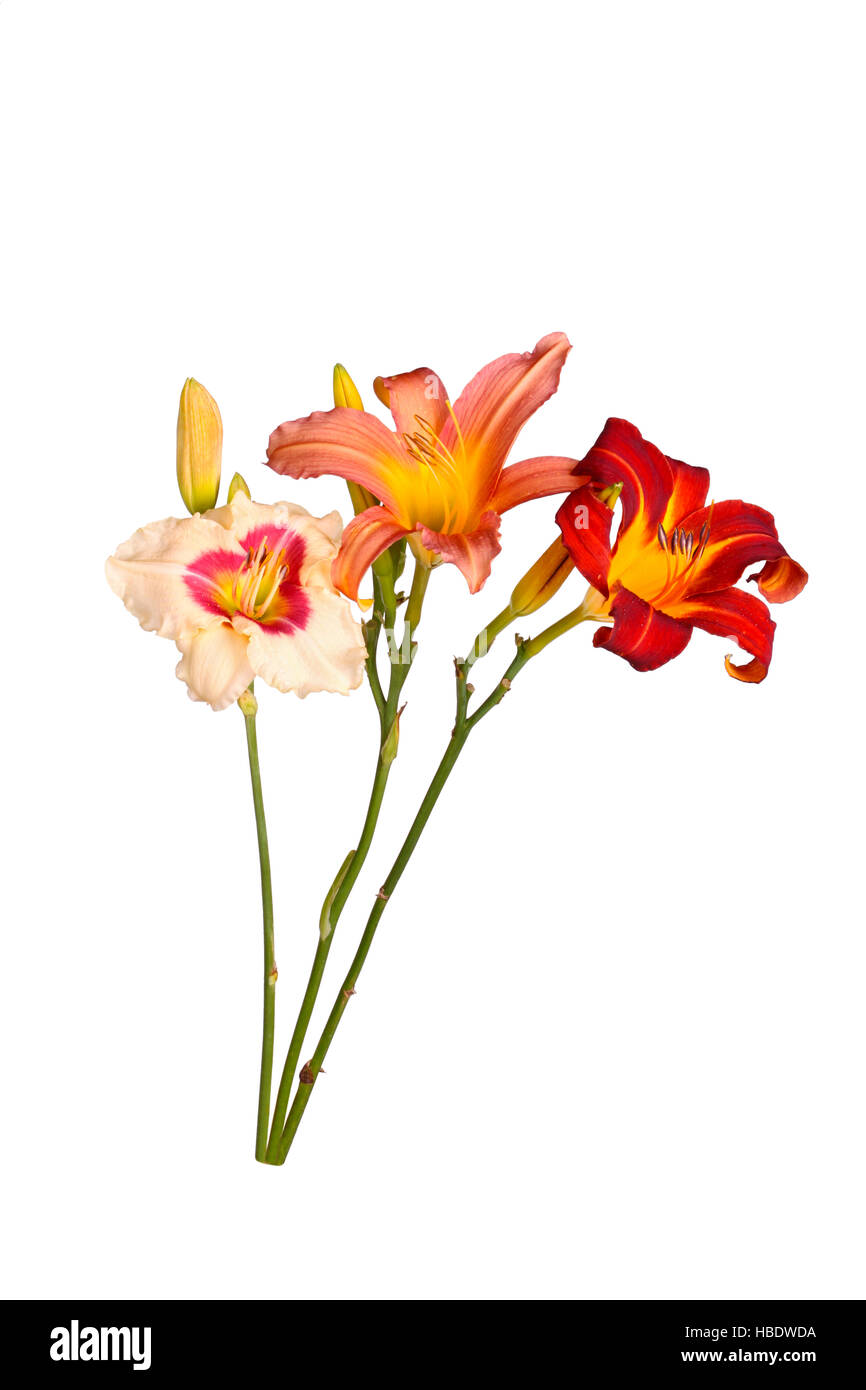 Three stems with daylily flowers of different cultivars in various colors with unopened buds isolated against a - Stock Image