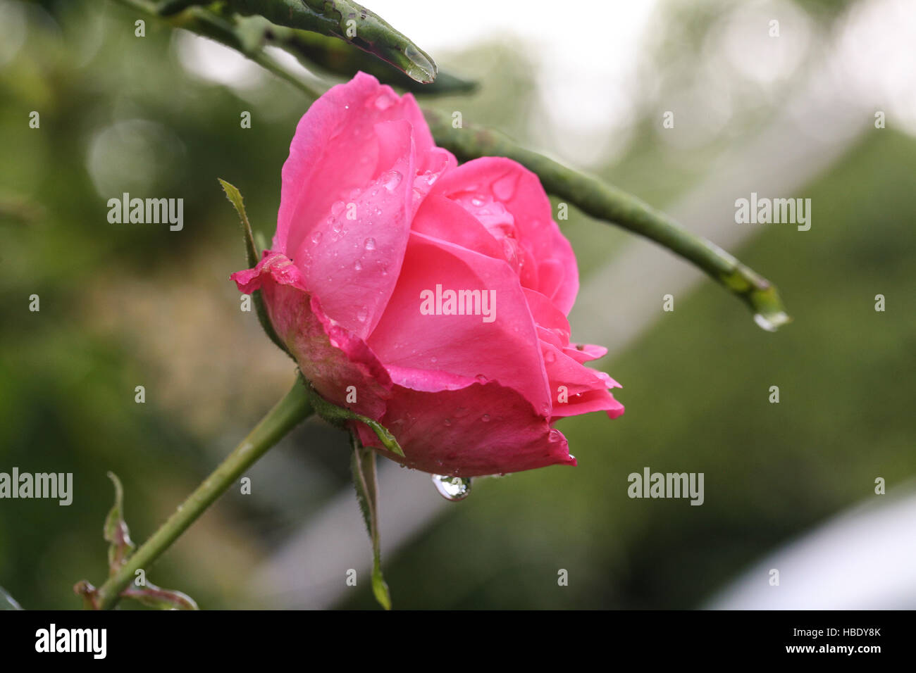 Rose in the rain - Stock Image