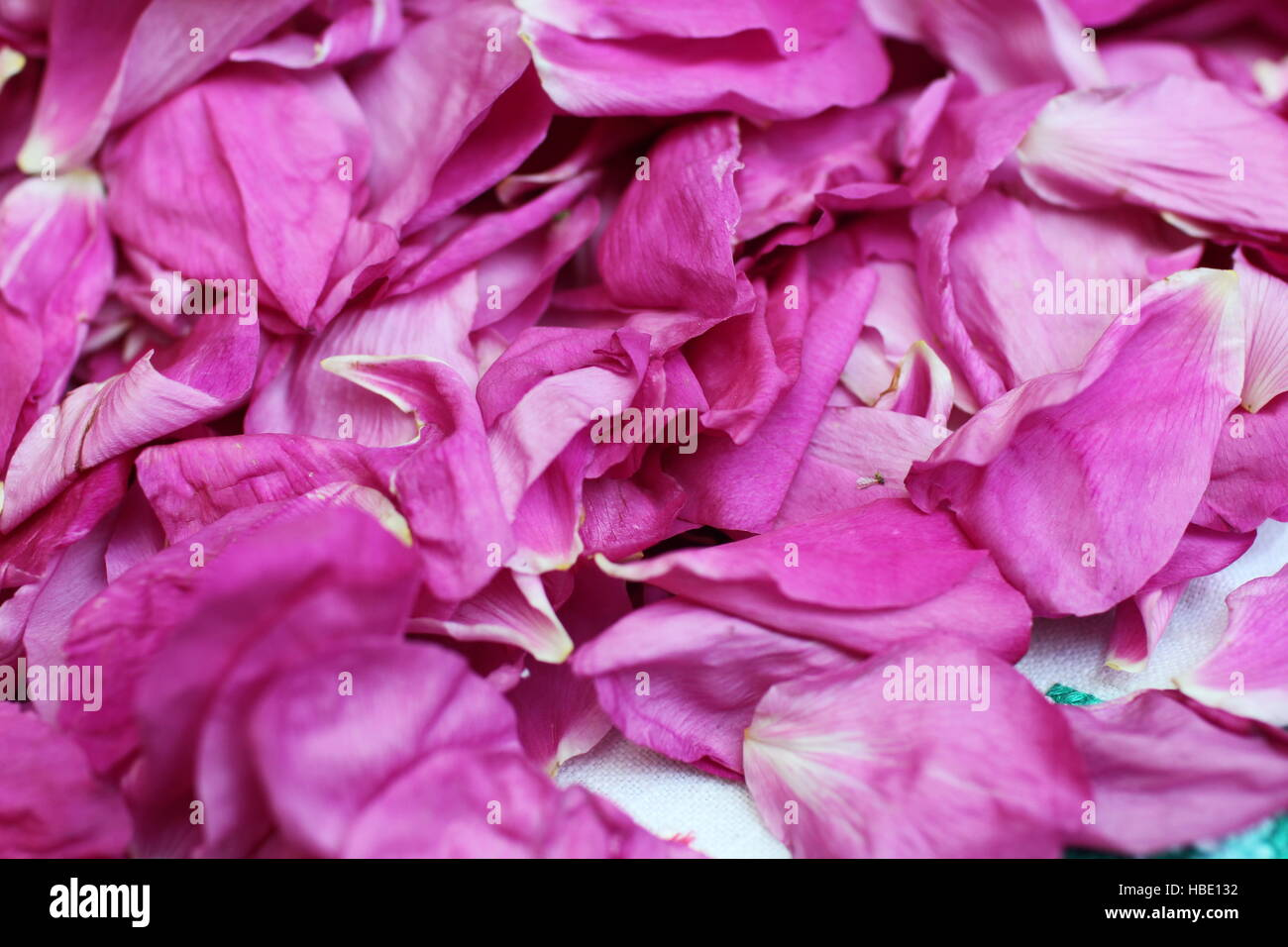 the ragged petals rose - Stock Image