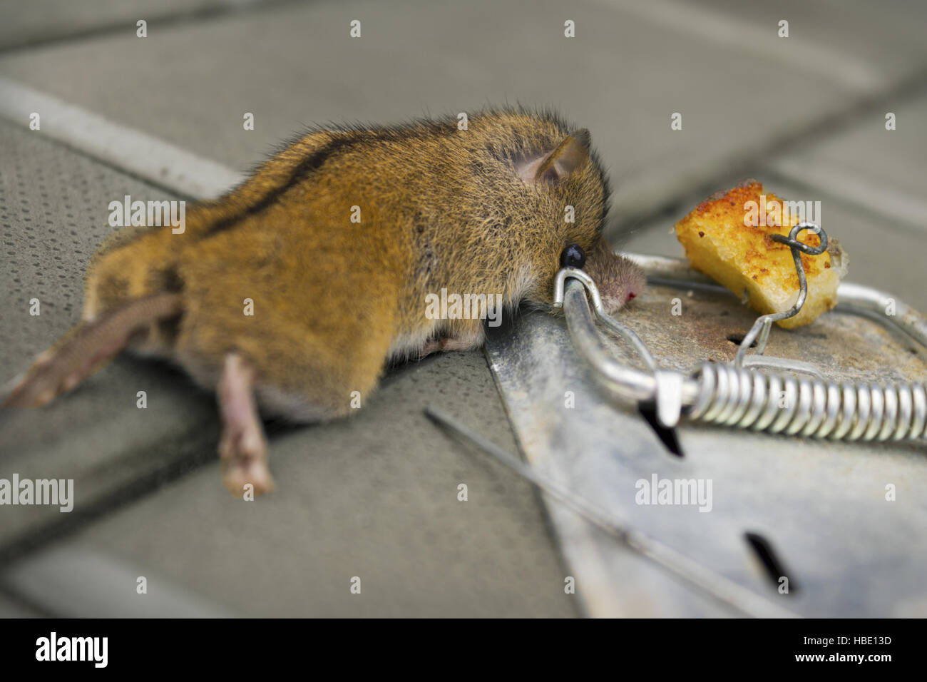 The destruction of rodents using mousetrap - Stock Image