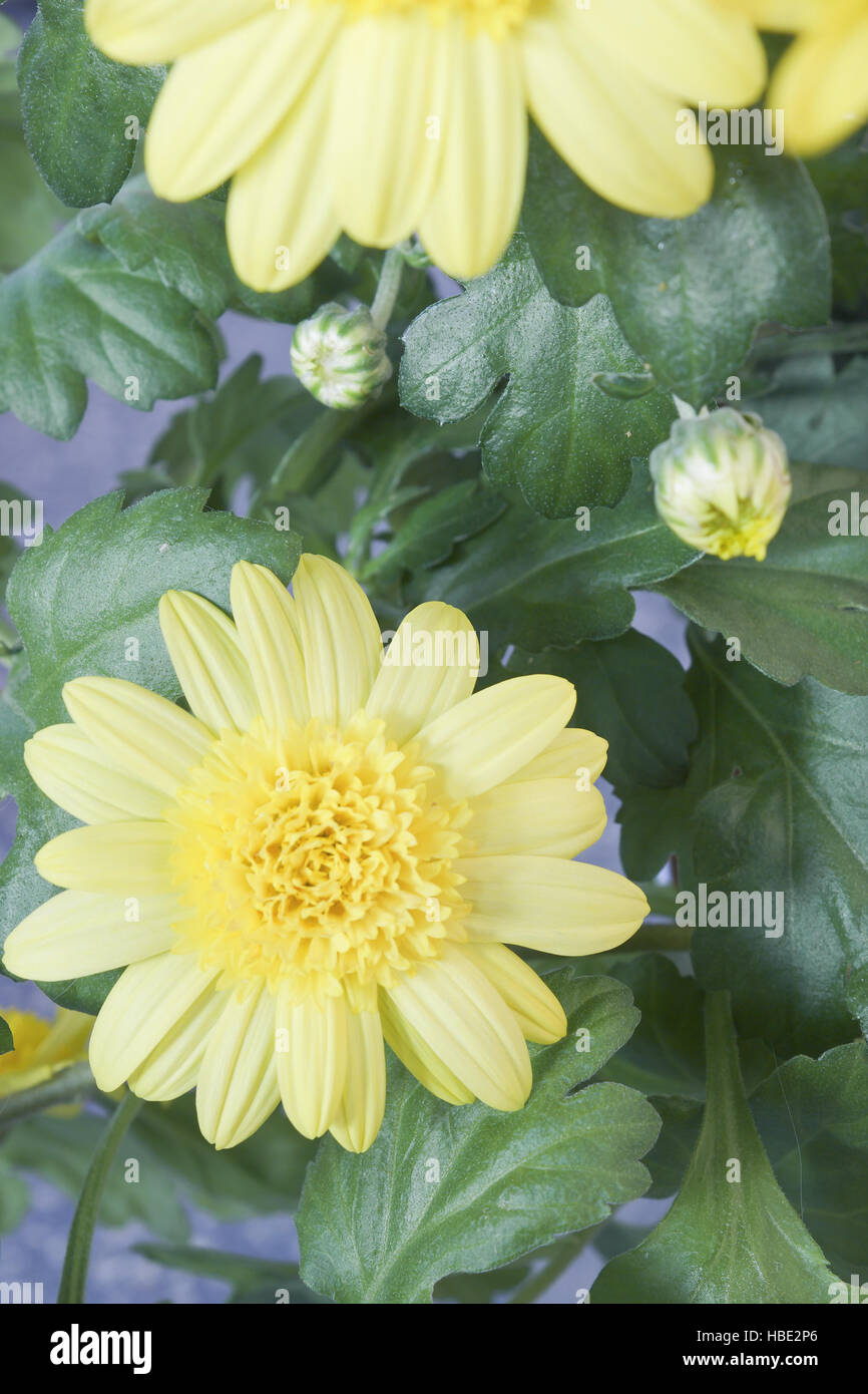 House Plants With Yellow Flowers And Buds Stock Photo 127543310 Alamy