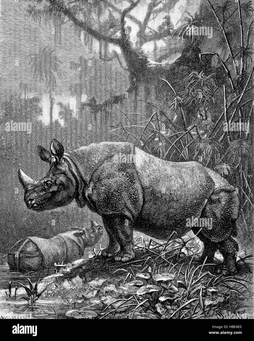 Indian rhinoceros, Rhinoceros unicornis), also called the greater one-horned rhinoceros and great Indian rhinoceros, - Stock Image
