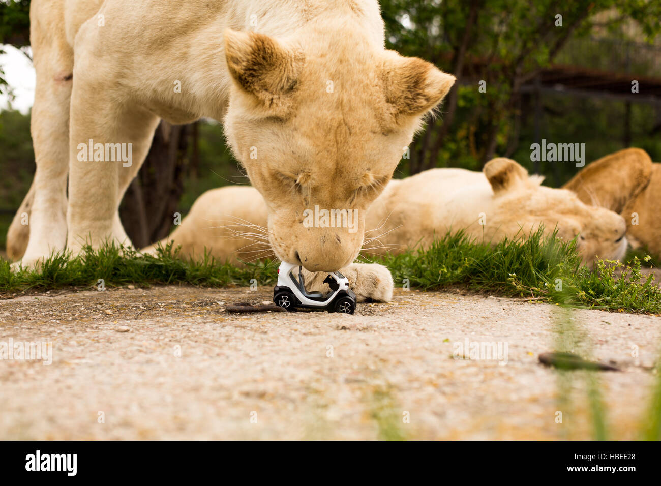Unique pictures: lion playing with a small model car Renault twizy in safari park Stock Photo