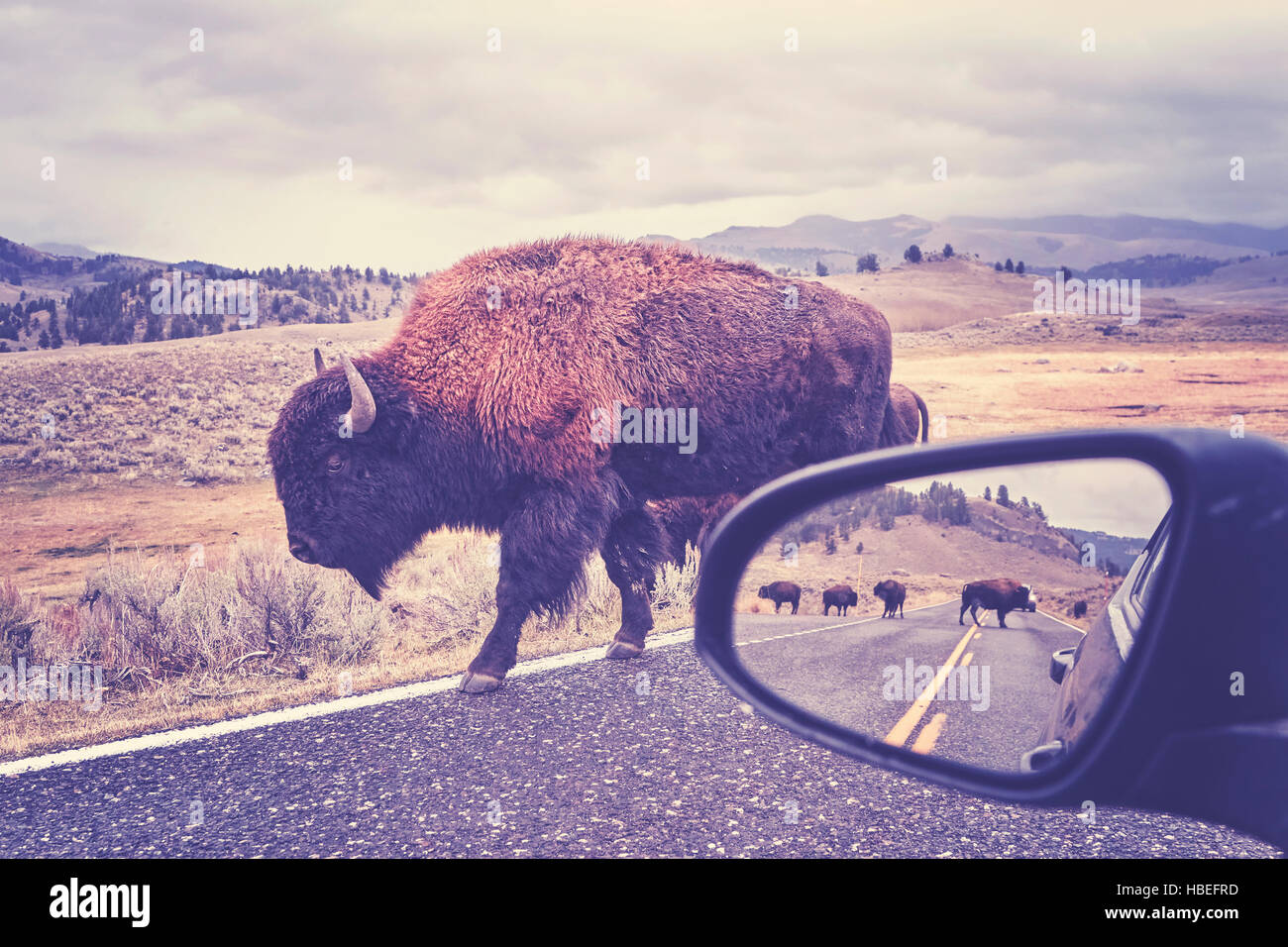 Retro toned photo of American bison (Bison bison) on a road seen from car driver seat in Grand Teton National Park, - Stock Image