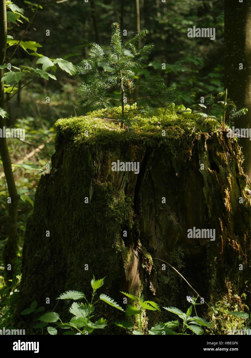 Fir tree growing on stub - Stock Image