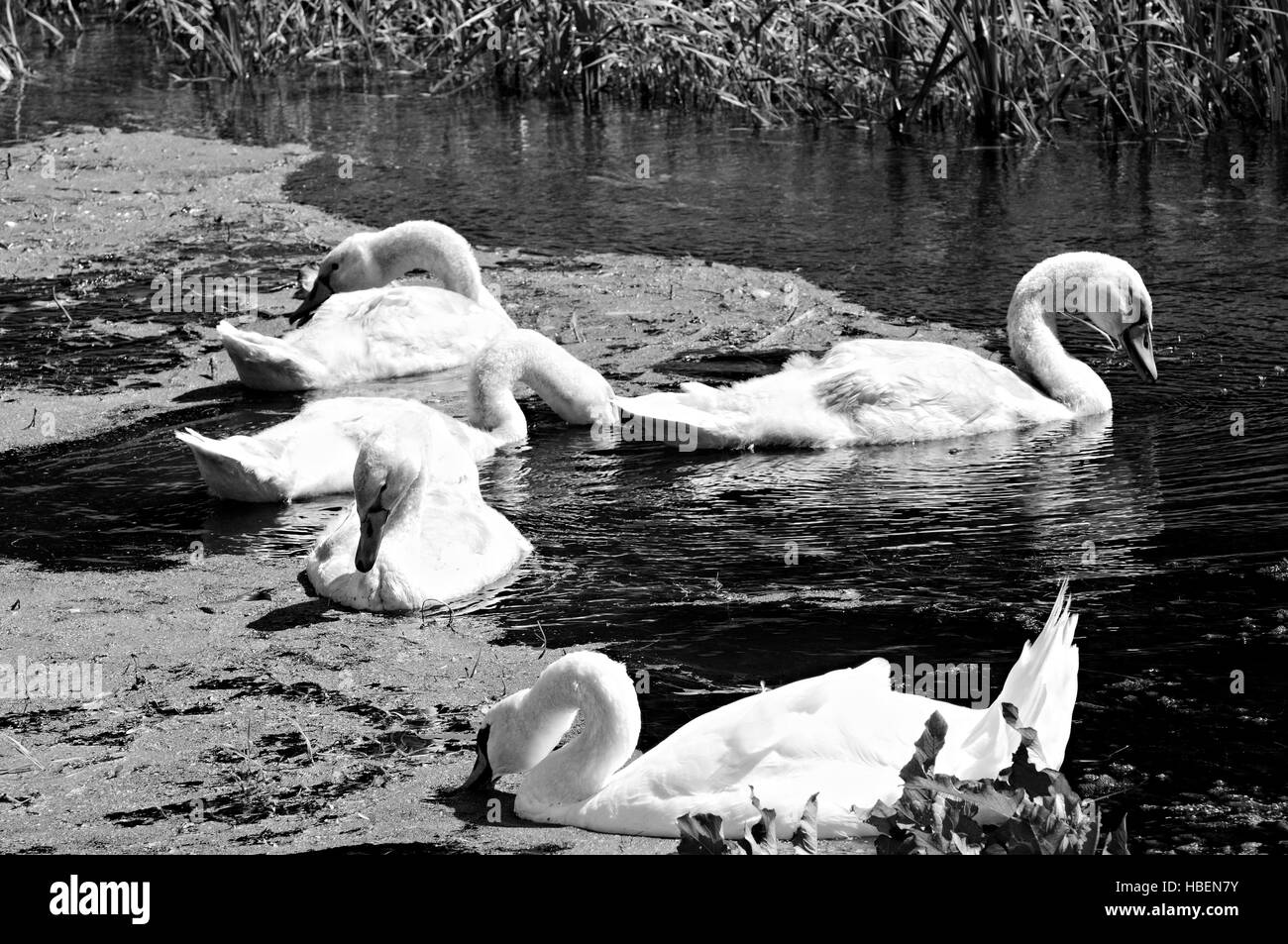 Family swan black and white Stock Photo