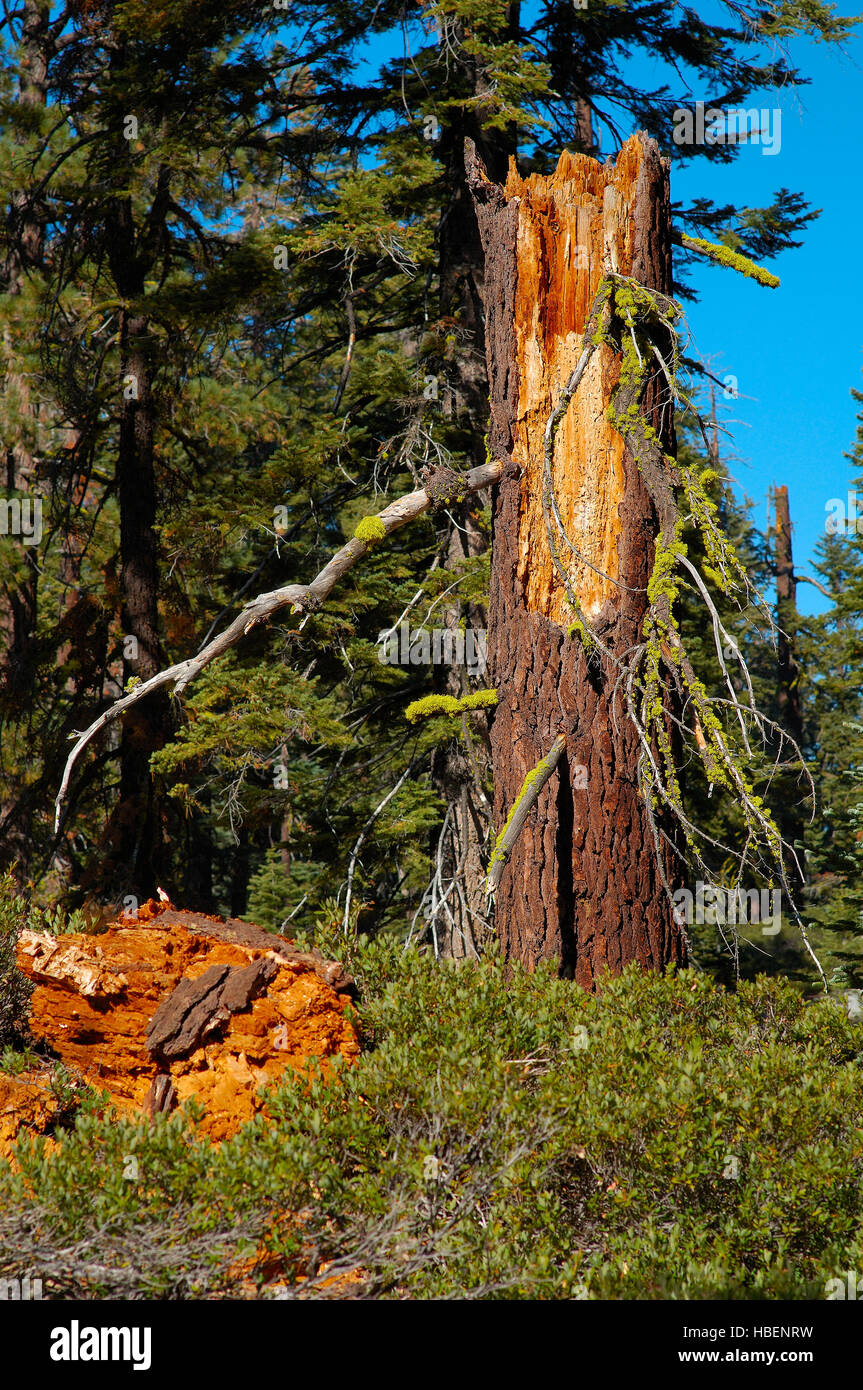 Forest Scene, Wolf Lichen on Red Fir Stump, Letharia vulpina, Abies magnifica, Taft Point Trail, Yosemite National - Stock Image