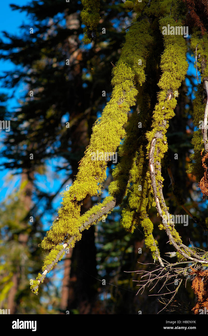 Wolf Lichen on Red Fir, Letharia vulpina, Abies magnifica, Taft Point Trail, Yosemite National Park - Stock Image