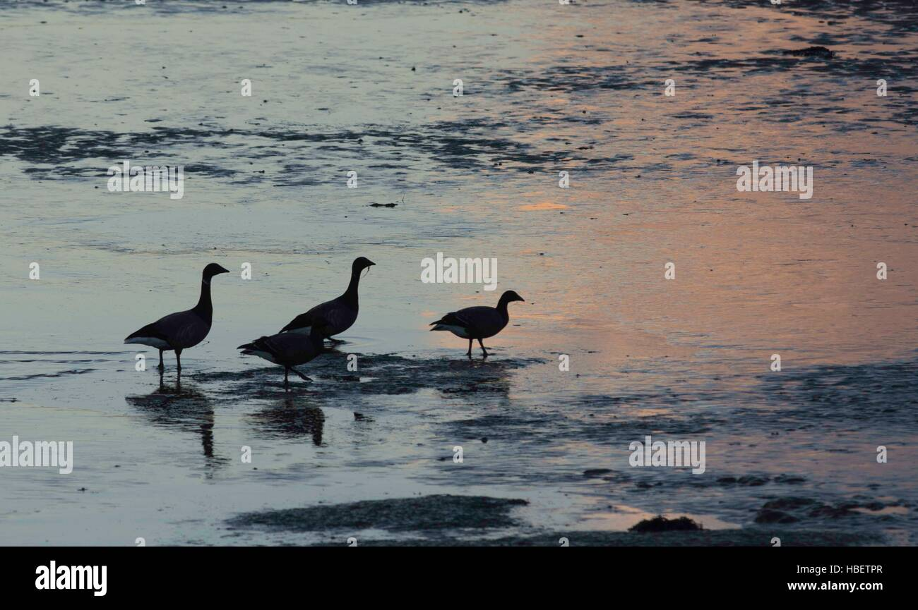 Brent Geese as the sun was setting over the Humber Estuary. - Stock Image