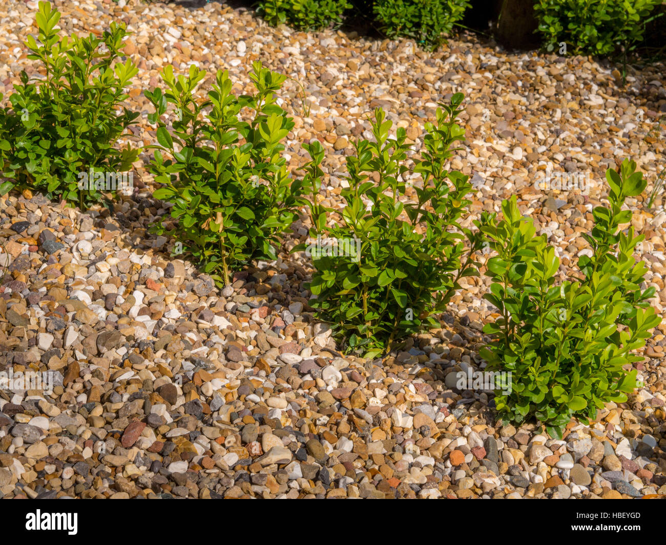 Young box hedging plants in gravel - Stock Image
