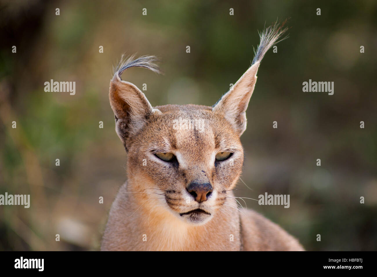 Wild female Caracal portrait in Namibian savannah - Stock Image