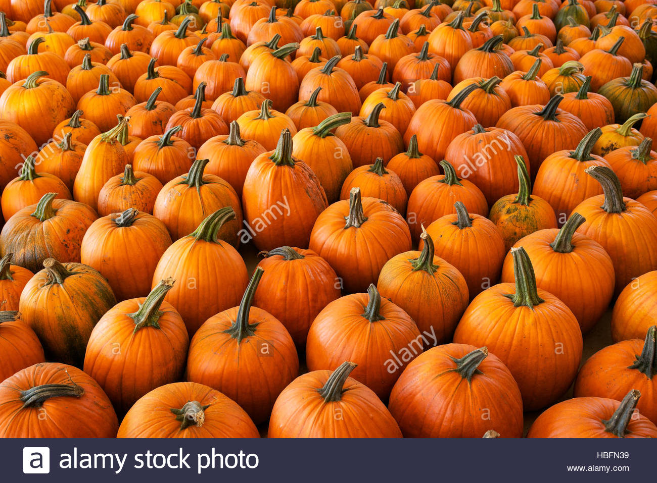 Pumpkins at a farm in Watertown, Wisconsin. - Stock Image