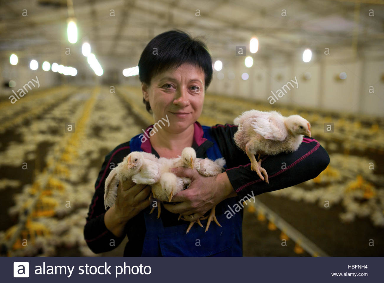 A woman cares for chickens being raised in the last Soviet-built chicken facility in the Ukraine. - Stock Image