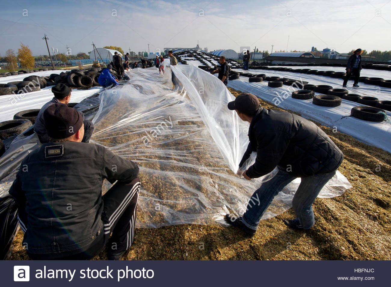 Covering up silage from chopped corn and milo on a farm in Dnipropetrovsk Province. - Stock Image
