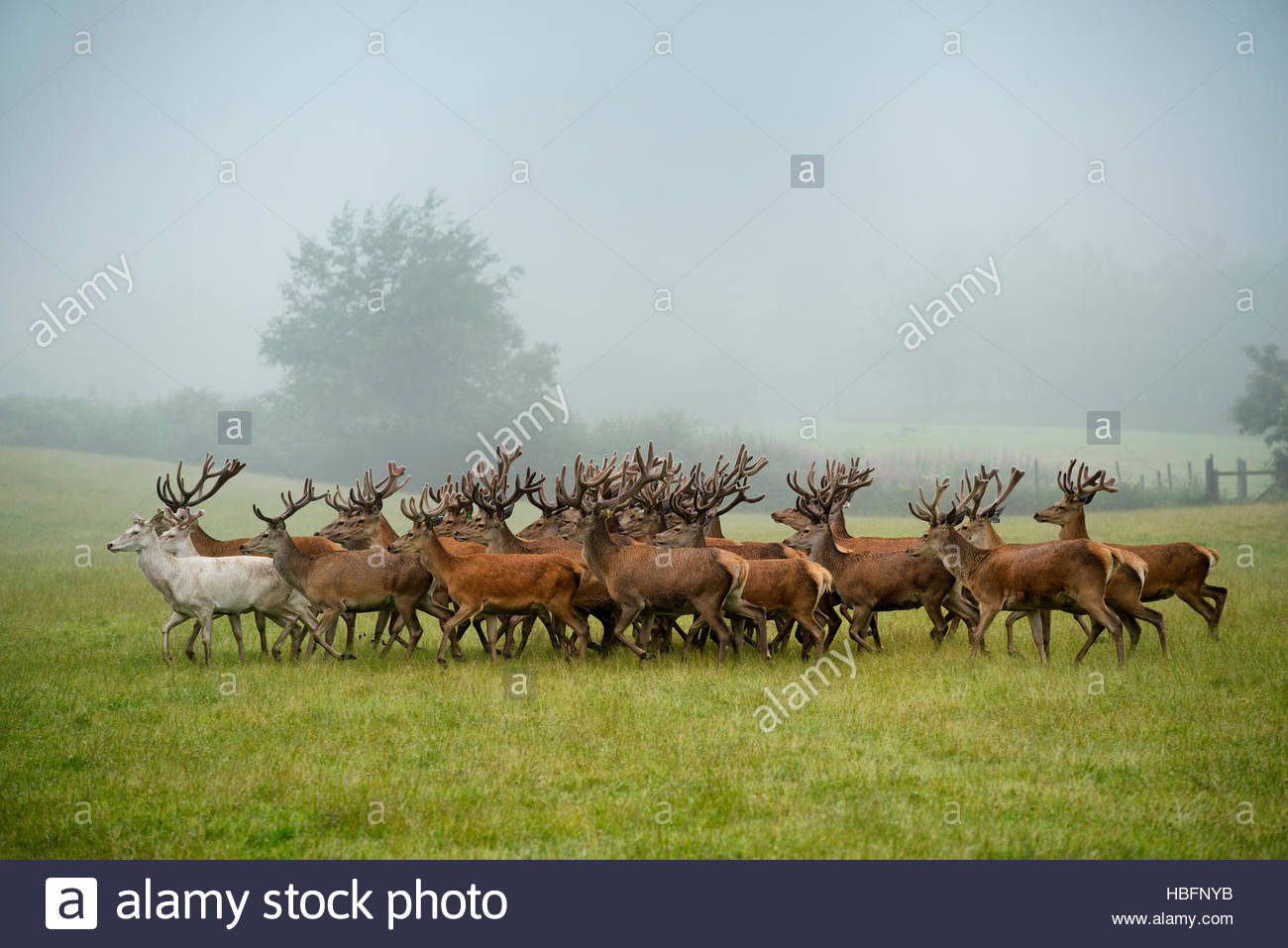 A herd of deer on a farm in Auchtermuchty. - Stock Image