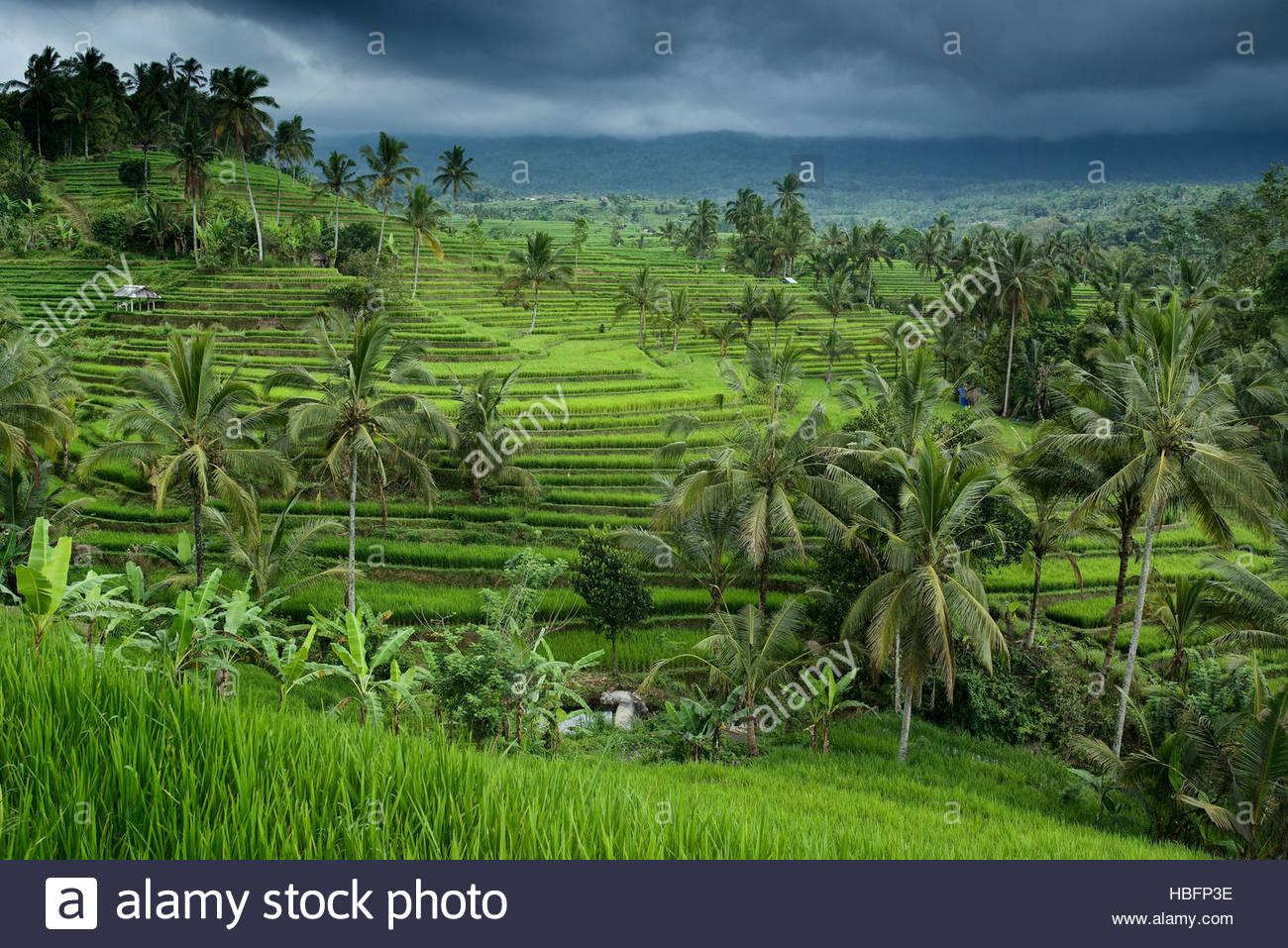 The Jatiluwih Rice Terraces. - Stock Image