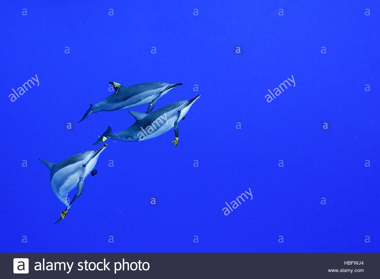 Spinner dolphins spend a morning adorning themselves with leaves, play being an important part of the social lives - Stock Image