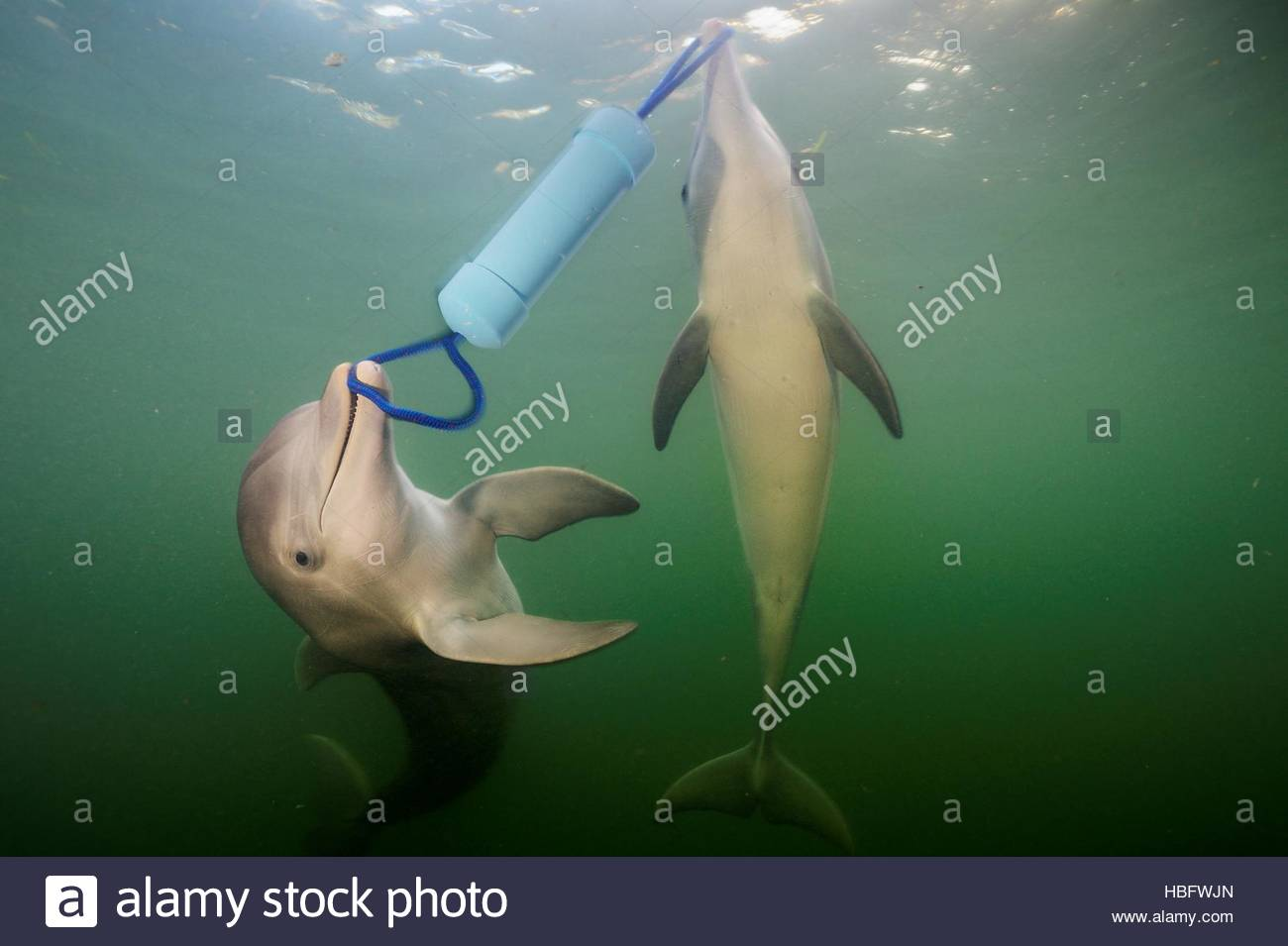 Two bottlenose dolphins learned that the only way to pull the cap off a PVC pipe filled with fish was to cooperate. - Stock Image