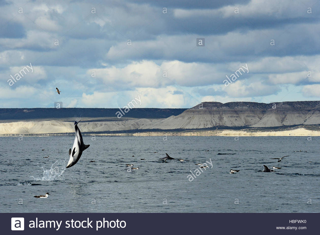 A dusky dolphin catapulting through the air off the coast of Patagonia may be sending a signal to other dolphins. - Stock Image