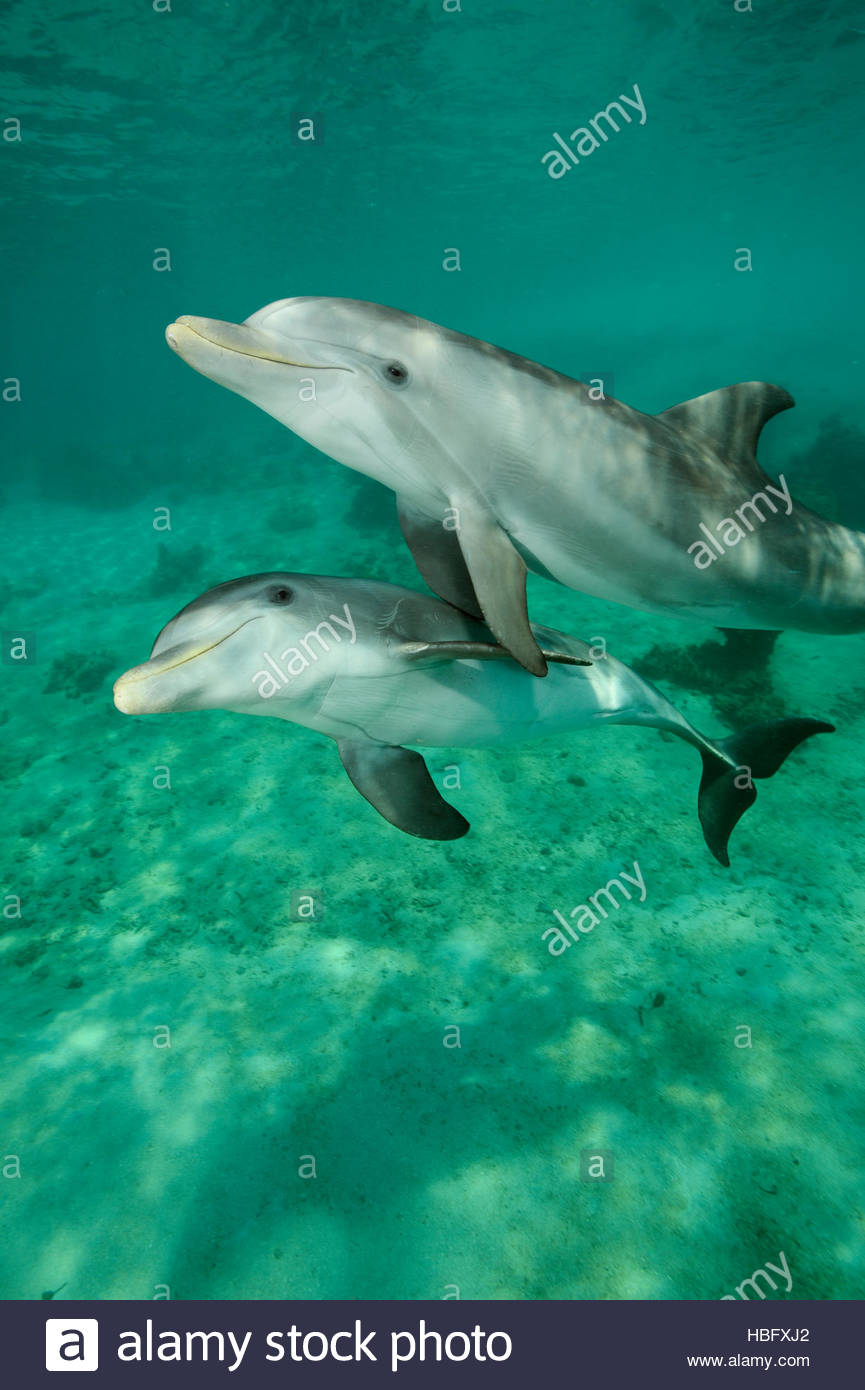 Bottlenose dolphins exhibit tandem behavior at the Roatan Institute for Marine Science at Anthony's Key Resort - Stock Image