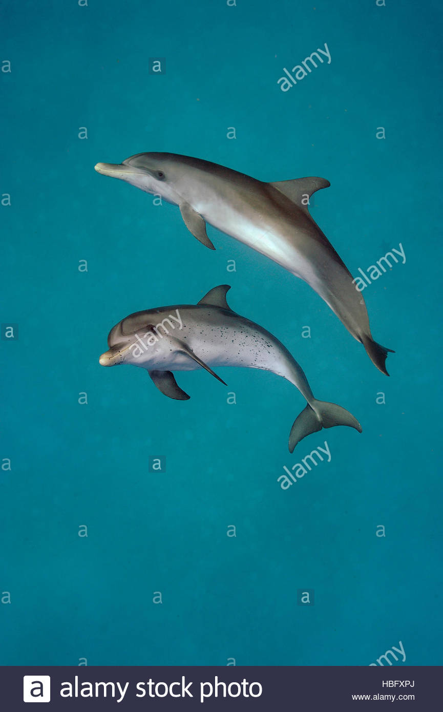 An Atlantic spotted dolphin and a bottlenose dolphin swim in the waters off Bimini in the Bahamas. - Stock Image
