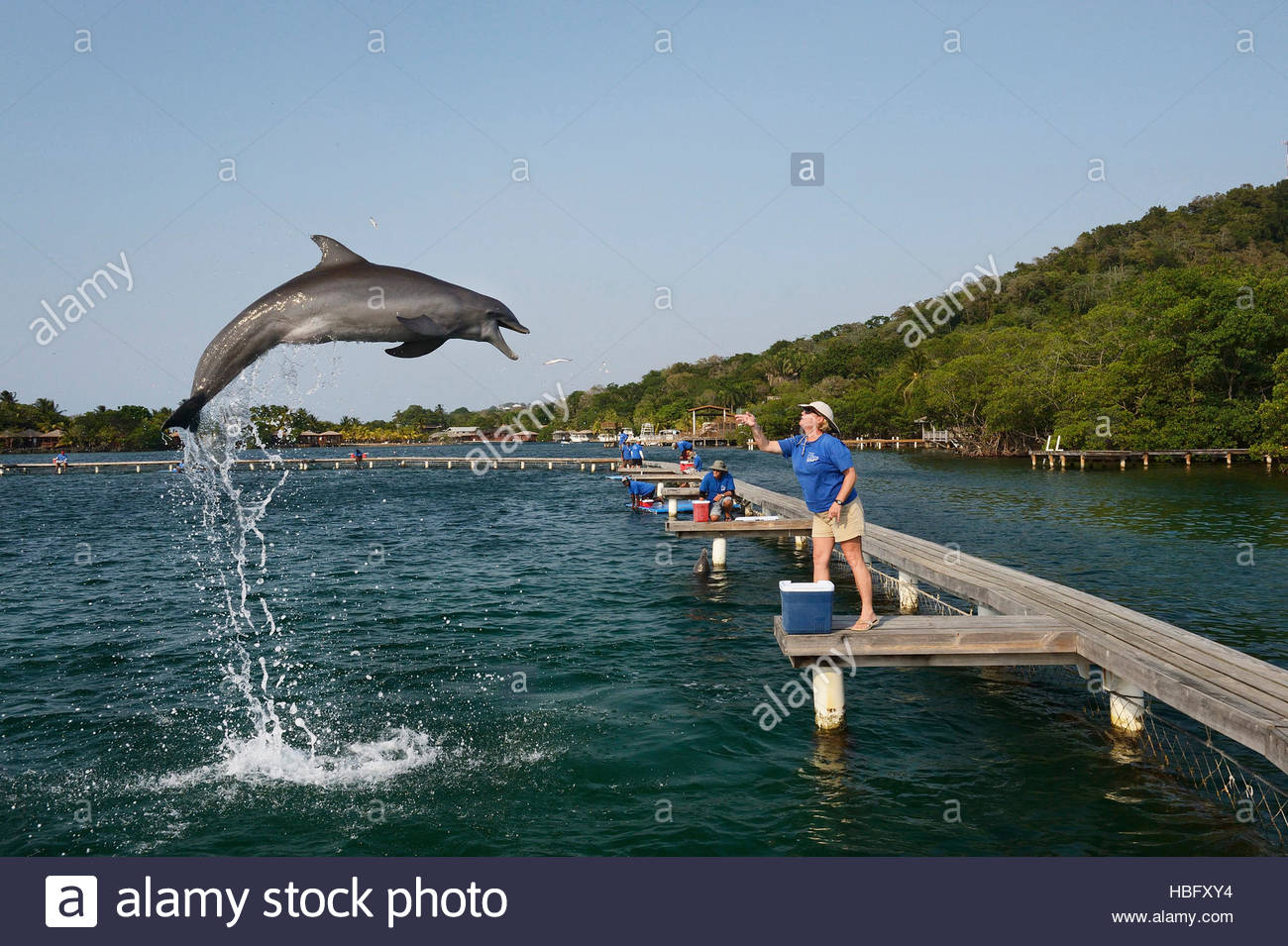 A biologist throws fish to a bottlenose dolphin at the Roatan Institute for Marine Science at Anthony's Key - Stock Image