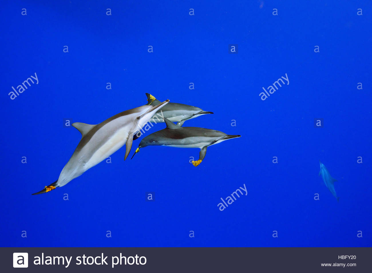 Spinner dolphins adorn themselves with leaves. - Stock Image