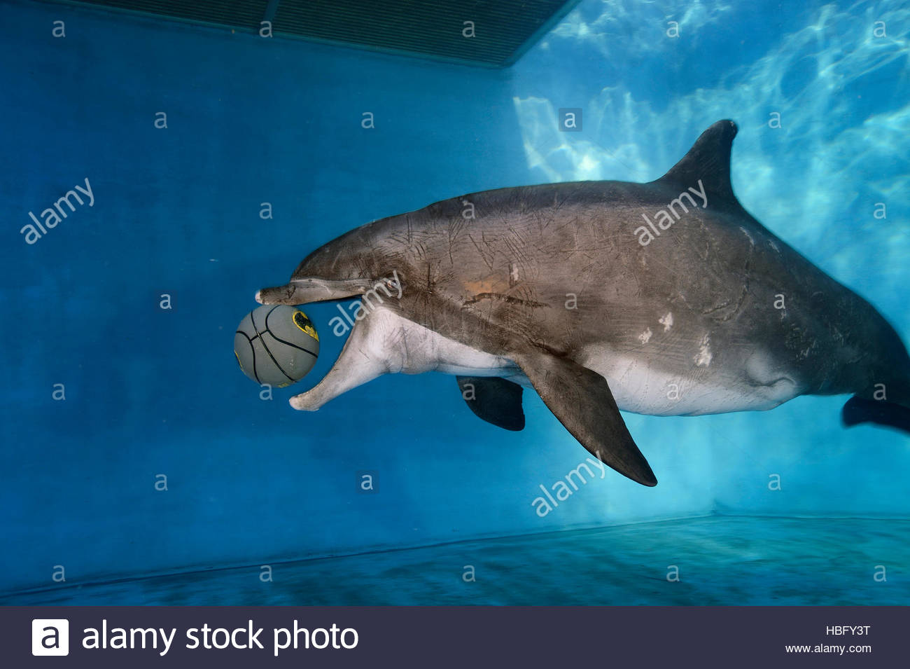 A captive bottlenose dolphin plays with a ball at Six Flags Park in Vallejo, California. - Stock Image