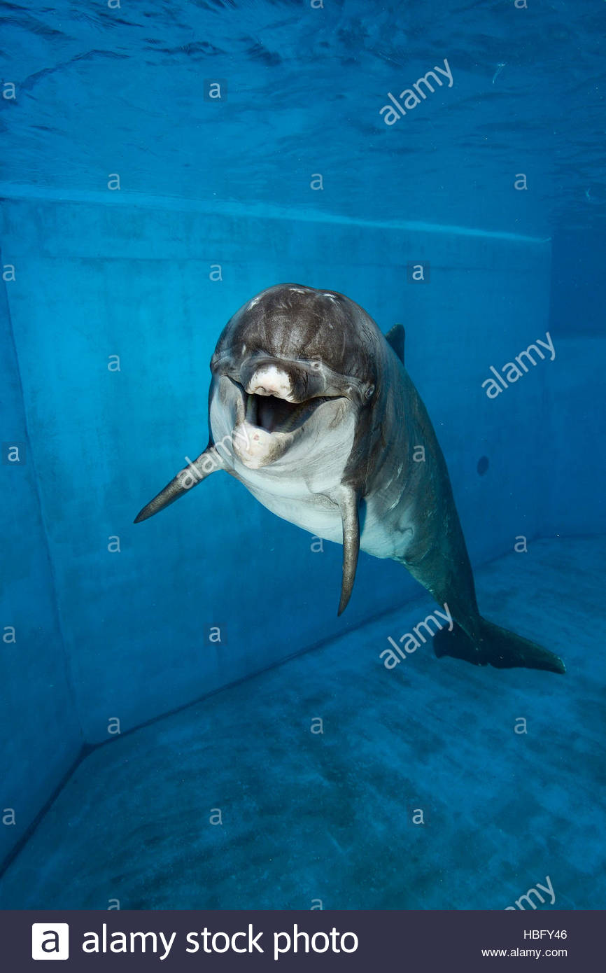 A captive bottlenose dolphin at Six Flags Park in Vallejo, California. - Stock Image