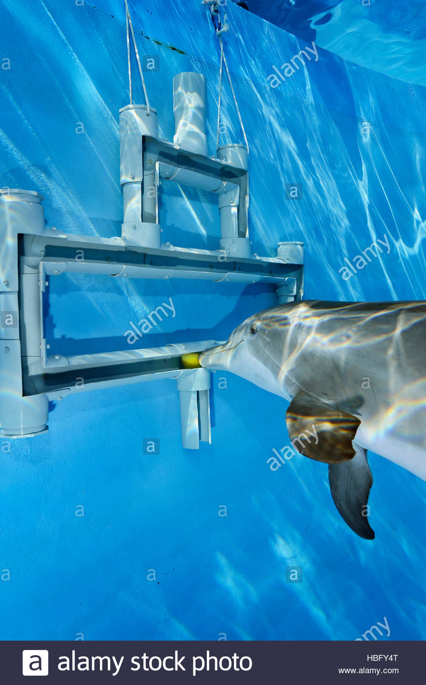 A bottlenose dolphin uses his rostrum to guide a ball made of edible gelatin out of a maze of pipes. - Stock Image