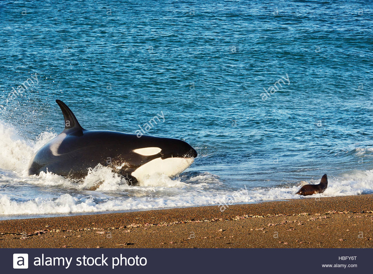 Orcas predating on fur seal pups at Punta Norte in Argentina (Patagonia). The behavior is unique the the orcas that - Stock Image