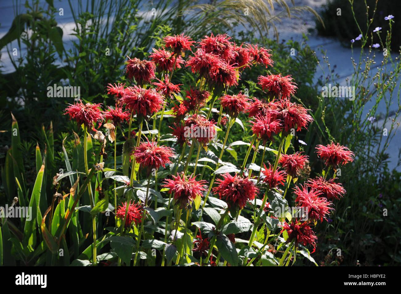 Monarda didyma, Bee balm - Stock Image