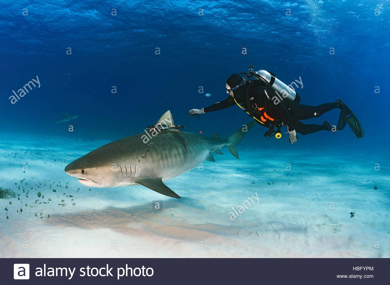 A Crittercam, a video that gathers footage of the shark's movements, is attached to a tiger shark by hand underwater. - Stock Image