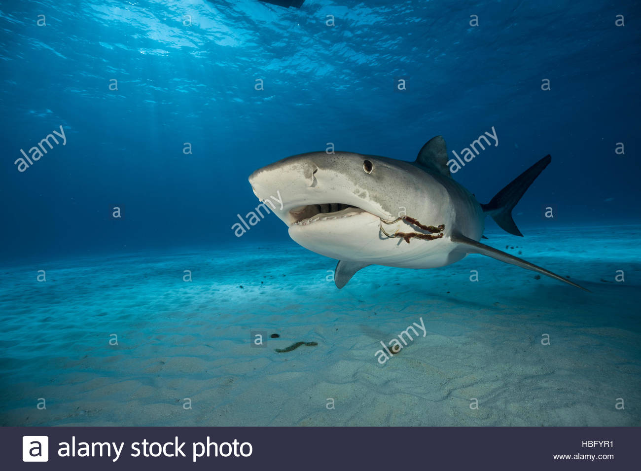 Two fishing hooks dangle from the corner of a tiger shark's mouth as it plies the waters of the Bahamas. - Stock Image