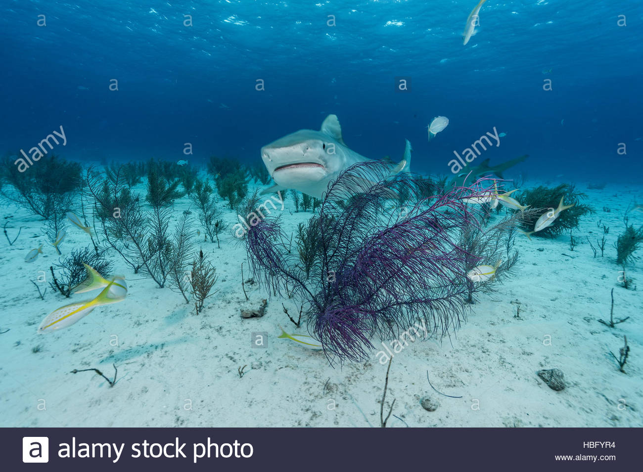 A tiger shark cruises the seafloor at Tiger Beach, a popular dive site in the Bahamas. - Stock Image
