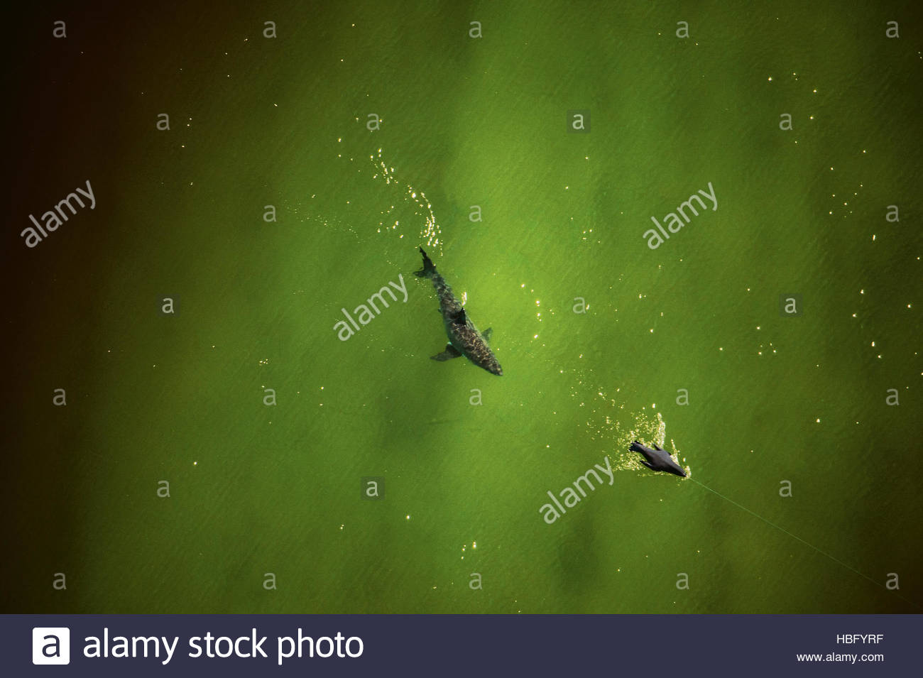 A seal decoy is used in a great white shark predation study in the waters off Cape Cod. - Stock Image