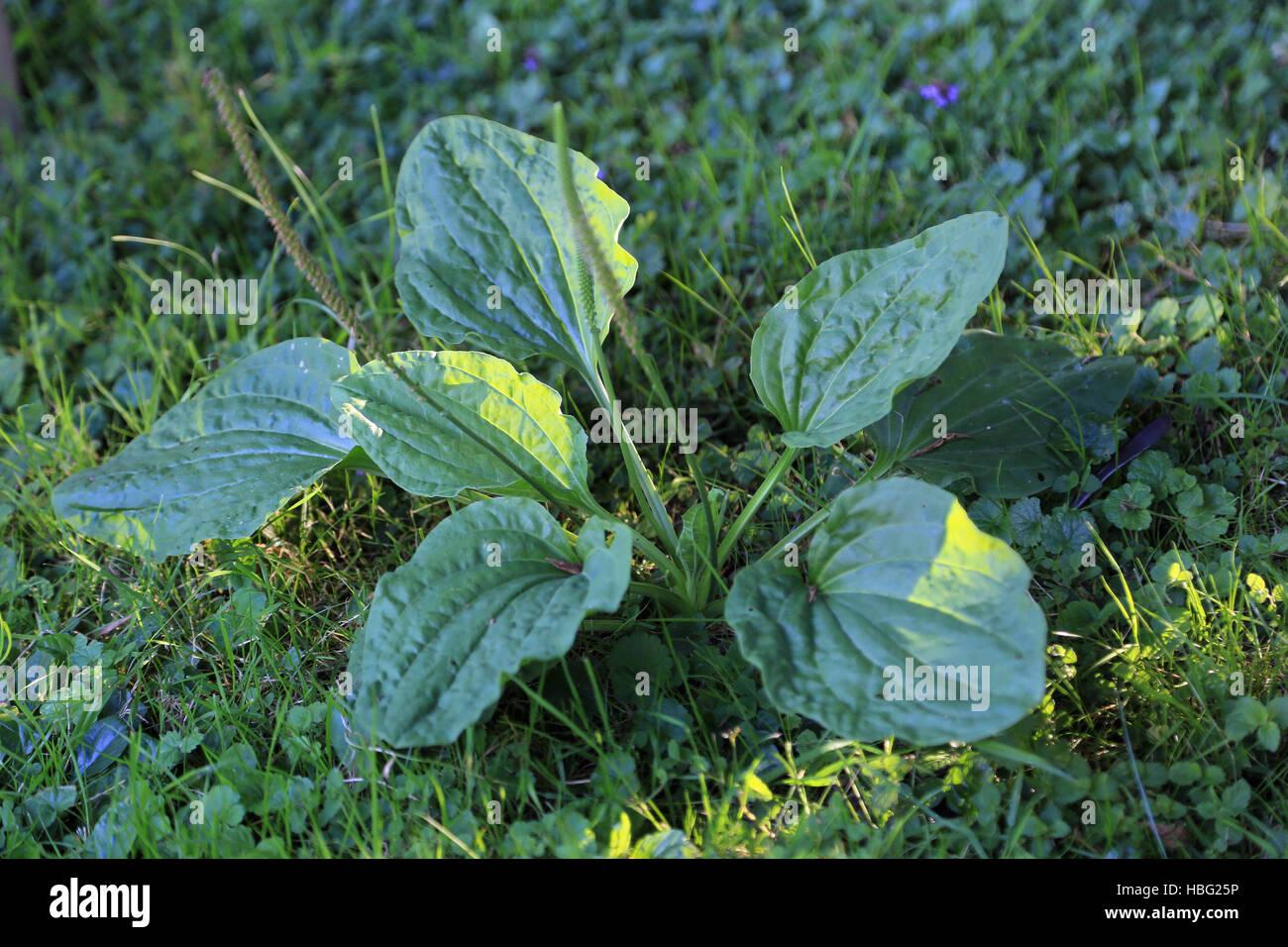Broadleaf plantain, Plantago major - Stock Image